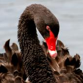Black swan. Angled view of adult head. Wanganui, February 2008. Image © Ormond Torr by Ormond Torr
