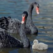 Black swan. Adult pair with cygnet. Wellington Zoo. Image © Department of Conservation ( image ref: 10047063) by Department of Conservation  Courtesy of Department of Conservation