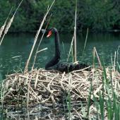 Black swan. Adult on nest of reeds. , October 1989. Image © Department of Conservation ( image ref: 10048749 ) by Department of Conservation  Courtesy of Department of Conservation
