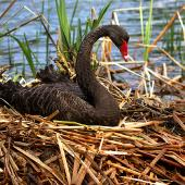 Black swan. Adult on nest. Wanganui, September 2005. Image © Ormond Torr by Ormond Torr