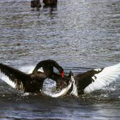 Black swan. Two adults fighting. Lake Taupo, November 1997. Image © Albert Aanensen by Albert Aanensen