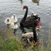 Black swan. Adults with cygnets. Bexley Wetlands, Christchurch. Image © James Mortimer by James Mortimer