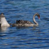 Black swan. Two juveniles feeding. Lake Alexandrina, February 2008. Image © Peter Reese by Peter Reese