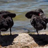 Black swan. Pair roosting. Lake Rotorua, January 2009. Image © Peter Reese by Peter Reese
