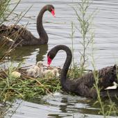 Black swan. Pair near their nest with 4 cygnets. Nelson sewage ponds, March 2017. Image © Rebecca Bowater by Rebecca Bowater FPSNZ AFIAP www.floraandfauna.co.nz