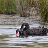 Black swan. Copulation on water. Lake Okareka, September 2012. Image © Raewyn Adams by Raewyn Adams