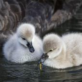 Black swan. Two young cygnets feeding. Northbrook Wetlands, July 2015. Image © Kathy Reid by Kathy Reid https://www.flickr.com/photos/kathy55/