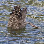 Black swan. Upended bird feeding on lake. Lake Rotoiti, October 2012. Image © Raewyn Adams by Raewyn Adams