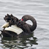 Black swan. Adult preening. Hamurana Springs, October 2012. Image © Raewyn Adams by Raewyn Adams