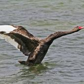 Black swan. Adult beating its wings. Hamurana Springs, October 2012. Image © Raewyn Adams by Raewyn Adams