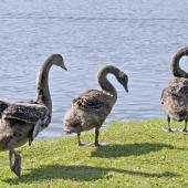 Black swan. Juveniles walking. Tauranga, August 2012. Image © Raewyn Adams by Raewyn Adams