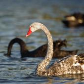 Black swan. Leucistic adult. Lake Rotorua, December 2009. Image © Tony Whitehead by Tony Whitehead www.wildlight.co.nz