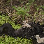 Black swan. Pair with cygnets. Mangere inlet near Ambury Regional Park, July 2016. Image © John and Melody Anderson, Wayfarer International Ltd by John and Melody Anderson Love our Birds®| www.wayfarerimages.co.nz