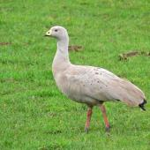 Cape Barren goose. Adult. Mowhanau, Whanganui, August 2010. Image © Peter Frost by Peter Frost