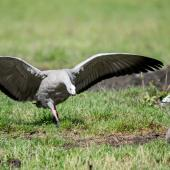 Cape Barren goose. Adult with wings spread. Rakaia, January 2016. Image © Adam Higgins by Adam Higgins Photo courtesy of AHiggins Photography - www.ahigginsphotography.com.au