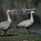 Cape Barren goose. Two adults. Waikanae River estuary, March 1989. Image © Alan Tennyson by Alan Tennyson