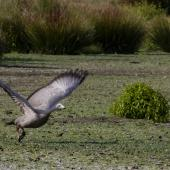 Cape Barren goose. Adult taking flight. Travis Wetland,  Christchurch, February 2019. Image © Grahame Bell by Grahame Bell