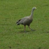 Cape Barren goose. Adult walking. Kaipara Harbour. Image © Noel Knight by Noel Knight