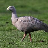 Cape Barren goose. Adult. Wanganui, August 2010. Image © Ormond Torr by Ormond Torr