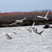 Greylag goose. Flock flying. Lake Ellesmere, June 2011. Image © Peter Reese by Peter Reese