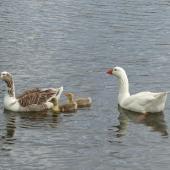 Greylag goose. Family. Waimanu Lagoon, Waikanae, October 2014. Image © Alan Tennyson  by Alan Tennyson