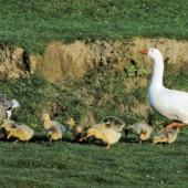 Greylag goose. Pair with goslings. Makara, Wellington, October 1994. Image © Peter Reese by Peter Reese