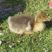 Greylag goose. Gosling. Waimanu Lagoon, Waikanae, November 2014. Image © Alan Tennyson  by Alan Tennyson