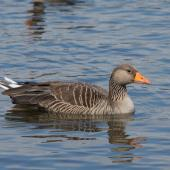 Greylag goose. Adult on water. Reykjavik, Iceland, June 2012. Image © Sonja Ross by Sonja Ross