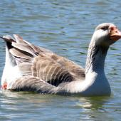 Greylag goose. Adult swimming. Masterton, December 2016. Image © Scott Brooks (ourspot) by Scott Brooks