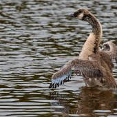 Canada goose. Juvenile beating its wings. Queen Elizabeth Park, December 2016. Image © Paul Le Roy by Paul Le Roy