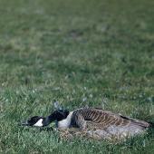 Canada goose. Adult on nest hiding. Birdlings Flat, Lake Ellesmere, December 1959. Image © Department of Conservation ( image ref: 10046961 ) by Peter Morrison, Department of Conservation  Courtesy of Department of Conservation