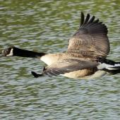 Canada goose. Dorsal view of adult in flight. Waikanae estuary, November 2013. Image © Roger Smith by Roger Smith