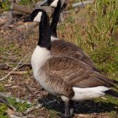 Canada goose. Adult pair. Wellington, November 2008. Image © Peter Reese by Peter Reese