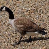 Canada goose. Adult walking. Wellington, October 2008. Image © Peter Reese by Peter Reese