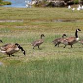 Canada goose. Adult pair with 5 goslings. Canterbury, December 2008. Image © Peter Reese by Peter Reese