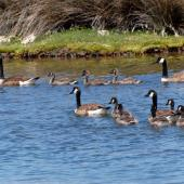 Canada goose. Two pairs with goslings. Canterbury, December 2008. Image © Peter Reese by Peter Reese