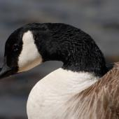 Canada goose. Close view of adult with neck retracted. Wellington, November 2008. Image © Peter Reese by Peter Reese