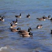 Canada goose. Flock feeding on water. Akaroa  Harbour, February 2008. Image © Peter Reese by Peter Reese