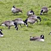 Canada goose. Resting and grazing in a farm paddock. Lake Okareka, September 2012. Image © Raewyn Adams by Raewyn Adams