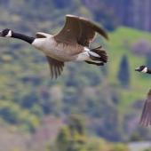 Canada goose. Ventral view of adults in flight. Lake Okareka, September 2012. Image © Raewyn Adams by Raewyn Adams