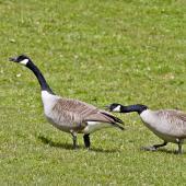 Canada goose. Territorial behaviour. Lake Okareka, September 2012. Image © Raewyn Adams by Raewyn Adams
