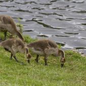 Canada goose. Juveniles grazing. Tauranga, December 2011. Image © Raewyn Adams by Raewyn Adams