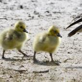 Canada goose. Close-up of hatchlings. Lake Okareka, November 2012. Image © Raewyn Adams by Raewyn Adams