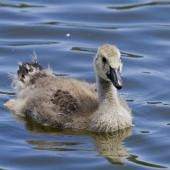 Canada goose. Close-up of juvenile showing the first wing and taill feathers starting to grow. Tauranga, December 2012. Image © Raewyn Adams by Raewyn Adams