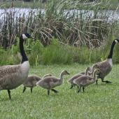 Canada goose. Adults and juveniles on land. Hamilton Lake, November 2007. Image © Raewyn Adams by Raewyn Adams