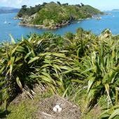 Canada goose. Nest with 3 eggs. Mokopuna Island, Wellington Harbour, October 2010. Image © Alan Tennyson by Alan Tennyson