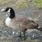 Canada goose. Adult. Kaikoura Peninsula, February 2013. Image © Alan Tennyson by Alan Tennyson