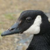 Canada goose. Close view of head. Kaikoura Peninsula, February 2013. Image © Alan Tennyson by Alan Tennyson