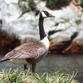 Canada goose. Vagrant adult showing neck held high. Snares Islands, November 1987. Image © Colin Miskelly by Colin Miskelly