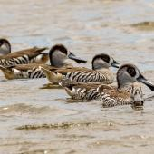 Pink-eared duck. Flock on the water. Western Treatment Plant, Werribee, December 2017. Image © Byron Chin by Byron Chin
